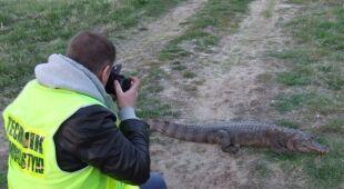 Martwy krokodyl wyłowiony z Warty (KPP Słupca)