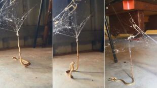 Mały pająk upolował węża. Gad nie miał szans
