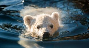Młoda niedźwiedzica w Columbus Zoo